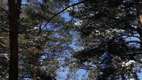 Верхние части сосен покрытых с снегом в лесе видеоматериал