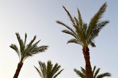 Верхние части хоботов красивых тропических экзотических пальм с большими зелеными листьями против голубого неба стоковая фотография rf