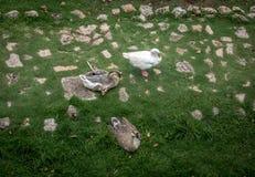 Верхний взгляд гусынь фермы и белой гусыни - Вальядолида, Мексики Стоковые Изображения