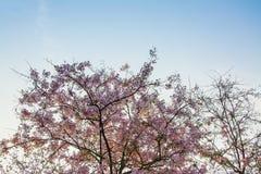 Верхний пинк леса дерева цветет предпосылка Стоковое Изображение RF