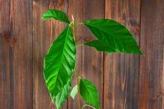 Верхний росток авокадоа с листьями и корнями в стекле воды Дерево авокадоа кроны молодое Деревянные коричневые стена и таблица Стоковое Изображение