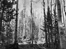 Верхний след петли Bristlecone, Mt Чарлстон, Невада стоковые изображения