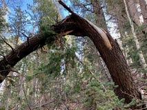 Верхний след петли Bristlecone, Mt Чарлстон, Невада стоковое изображение