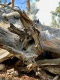 Верхний след петли Bristlecone, Mt Чарлстон, Невада стоковое фото rf