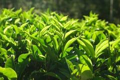3 верхних листь чая Стоковые Изображения RF