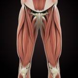 Верхняя анатомия мышц ног бесплатная иллюстрация