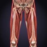 Верхняя анатомия мышц ног иллюстрация вектора