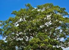 Верхняя часть большого дерева под голубым небом Стоковые Фото