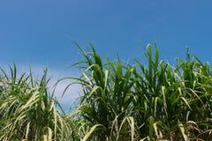 Верхняя часть дерева сахарного тростника с голубым небом Стоковые Фото