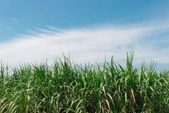 Верхняя часть дерева сахарного тростника с голубым небом Стоковые Изображения