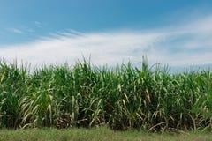 Верхняя часть дерева сахарного тростника с голубым небом Стоковое фото RF