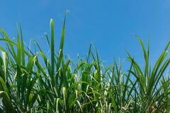 Верхняя часть дерева сахарного тростника с голубым небом Стоковая Фотография RF