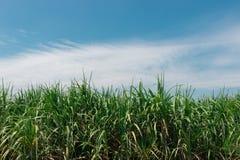 Верхняя часть дерева сахарного тростника с голубым небом Стоковое Изображение