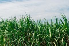 Верхняя часть дерева сахарного тростника с голубым небом Стоковая Фотография