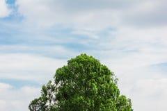 Верхняя часть дерева с голубым небом Стоковое Изображение