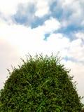 Верхняя часть дерева чая гнуть с голубым небом и облаками Стоковое Изображение