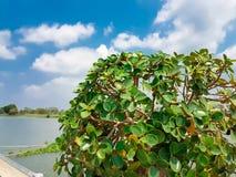 Верхняя часть дерева чая гнуть с голубым небом и облаками Стоковые Изображения RF