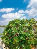 Верхняя часть дерева чая гнуть с голубым небом и облаками Стоковые Фото
