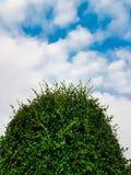 Верхняя часть дерева чая гнуть с голубым небом и облаками Стоковое Фото