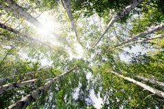 Верхняя часть деревьев березы лета Стоковое Изображение RF
