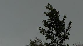 Верхняя часть зеленого дерева клена пошатывает под взрывами ветра в slo-mo видеоматериал