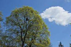 Верхняя часть зеленого дерева против неба и облаков Стоковое Изображение RF