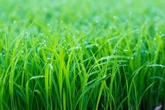 верхняя часть зеленого цвета травы росы Стоковая Фотография