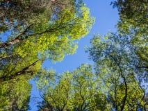 Верхняя часть зеленых деревьев в лесе с голубым небом и солнцем испускает лучи светить Стоковое фото RF