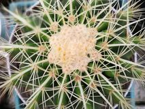 верхняя часть кактуса бочонка золотистая Стоковые Изображения