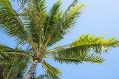 Верхняя часть кокосовой пальмы Стоковые Фотографии RF