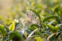 Верхняя часть листьев зеленого чая стоковое фото rf