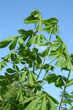 верхняя часть листьев каштана приходя Стоковое Изображение RF