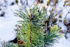 Верхняя часть малого елевого дерева в зиме стоковое фото