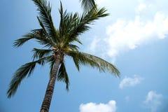 Верхняя часть пальмы кокоса стоковая фотография rf