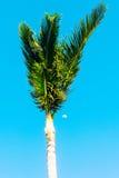 Верхняя часть пальмы с луной Стоковая Фотография