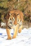 верхняя часть тигра черного портрета предпосылки siberian Стоковые Изображения RF