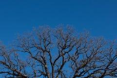 Верхняя часть дуба заусенца и голубое небо Стоковое Фото