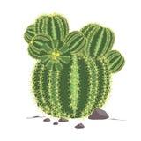 верхняя часть grusonii echinocactus кактуса близкая вверх по взгляду Иллюстрация кактуса Стоковое Изображение RF