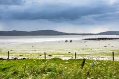 Верховая езда на песчаном пляже с цветистым machair field на переднем плане Стоковая Фотография RF