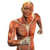 верхушка мышцы человека тела Стоковая Фотография RF