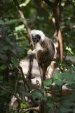 вершин Хлопк обезьяна tamarin Стоковые Фотографии RF