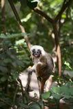 вершин Хлопк обезьяна tamarin Стоковая Фотография RF