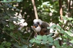 вершин Хлопк обезьяна tamarin стоковое изображение