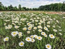 Веселый ландшафт Wildflower маргаритки Oxeye Стоковые Изображения
