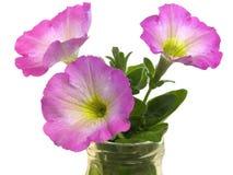 весеннее время весны петуньи цветков цветений Стоковые Фото