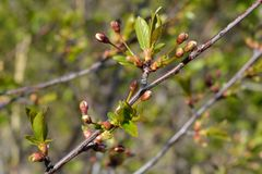 Весеннее время Ветвь вишневого дерева с бутонами и листьями детенышей Стоковые Изображения