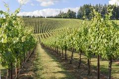 Весеннее время в виноградниках западного Орегона Стоковые Фото