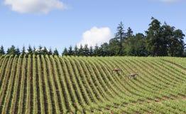 Весеннее время в виноградниках западного Орегона Стоковая Фотография RF
