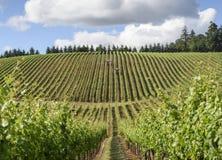 Весеннее время в виноградниках западного Орегона Стоковое Изображение