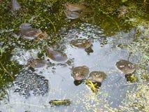 Весеннее время в пруде Стоковые Изображения RF